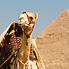 photo: Pyramid Point - A tourist camel waits at the officially sanctioned viewpoint of the pyramids.